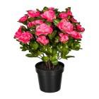 Azalee pink, 32 cm, im Kunststofftopf - 100203700000 - 1 - 140px