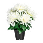Chrysantheme weiß im Kunststofftopf - 100205100000 - 1 - 140px