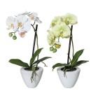Orchideen 2er Set weiß-grün, 37 cm - 100569400000 - 1 - 140px
