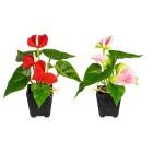 Mini-Anthurien, 2er Set, 20 cm, rot + rosa - 100748600000 - 1 - 140px