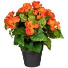 Begonienbusch orange, 35 cm - 100925300000 - 1 - 140px