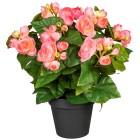Begonienbusch rosa, ca. 35 cm - 101805800000 - 1 - 140px