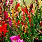 100er Packung Gladiolen Riesenknolle - 102453100000 - 1 - 140px