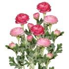 Ranunkel rosa 40cm 6er-Set - 104853400000 - 1 - 140px