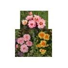 3er Set Persische Rosen wie gemalt