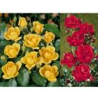 6er Set Reichblühendes Rosenbeet gelb und rot