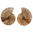 Ammoniten Paare Madagaskar - 63857100000 - 1 - 140px