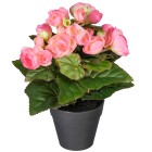 Begonie rosa, ca. 25 cm
