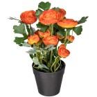 Ranunkel orange, ca. 25 cm