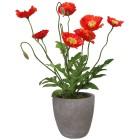 Mohnbusch im Zementtopf, rot, 38 cm