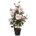 Rosenstock rosa, 90 cm - 68440400000 - 1 - 140px