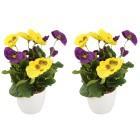 Stiefmütterchen lila-gelb, im Keramiktopf, 2er Set - 68447700000 - 1 - 140px