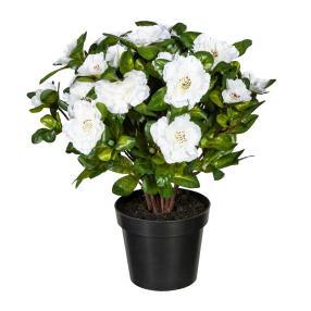 Azalee weiß, 32 cm, im Kunststofftopf
