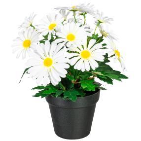 Margeritenbusch weiß, 30 cm, im Kunststofftopf