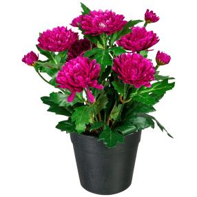 Zinnienbusch lila, 23 cm, im Kunststofftopf