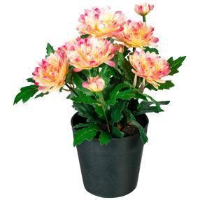 Zinnienbusch multicolor, 23 cm, im Kunststofftopf