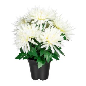 Chrysantheme weiß im Kunststofftopf