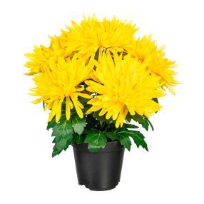 Chrysantheme gelb im Kunststofftopf