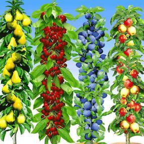 Säulen-Obst-Kollektion, 4 Pflanzen