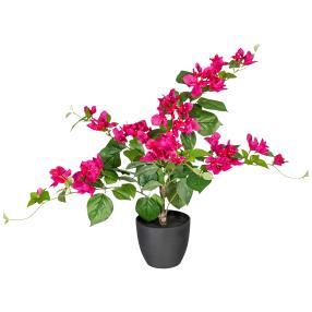 Bougainvillea, pink, 70cm