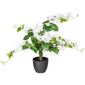 Bougainvillea, weiß, 70cm
