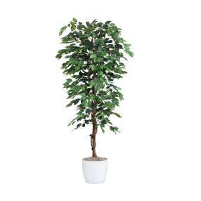 Ficus benjamini 120 cm