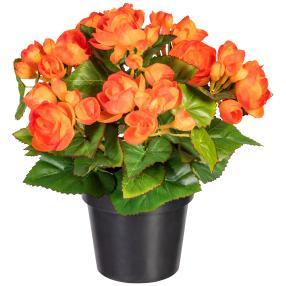 Begonienbusch orange, 28 cm