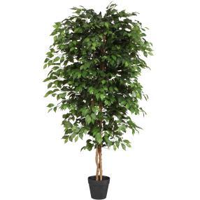 Ficus Benjamini, 120 cm