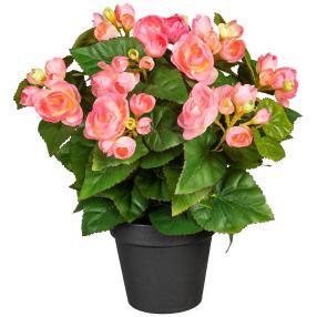 Begonienbusch rosa, ca. 35 cm