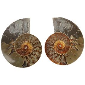 Darimana Ammonitenpaar Madagaskar