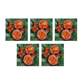 Rosenbeet Orange 5er Set