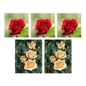 5er Set Edelrosen-Beet, gelb & rot