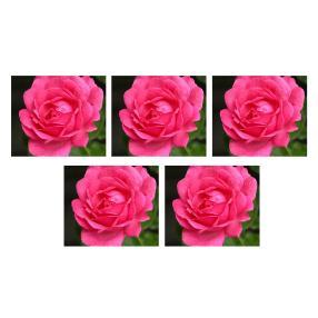 Rosenbeet Rosa 5er Set