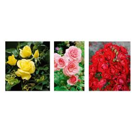 Bienenfreundliche Rosen 3er Set