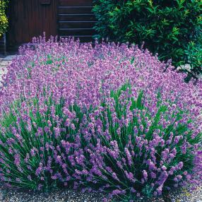 Blauer Duft-Lavendel 12er