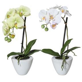 Orchidee im Topf 2er Set, weiß & hellgrün