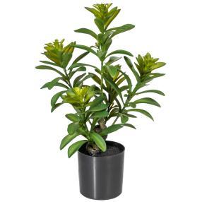 Geldbaum - Crassula Ovata, 40 cm