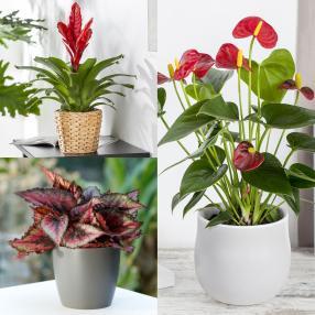 Dekorative Zimmerpflanzen 3er-Set rot