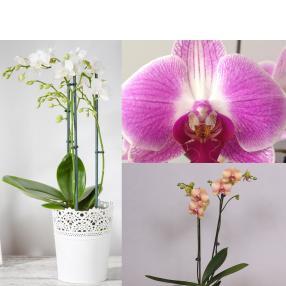 Zimmerpflanzen Orchideenzauber Set