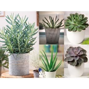 Zimmerpflanzen Sukkulente Set