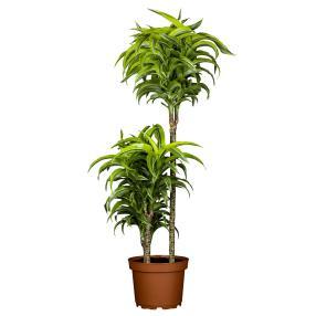 Drachenbaum 2er Tuff im ca. 19 cm Topf