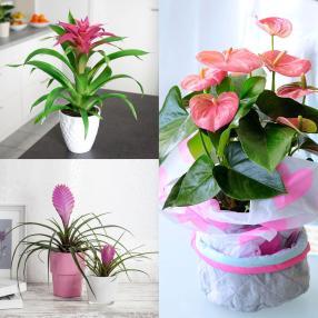 Zimmerpflanzen 3er-Set rosa