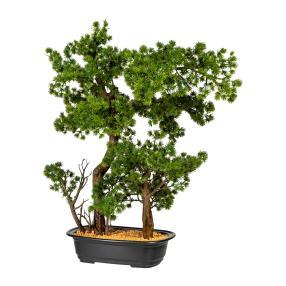 Bonsai-Lärche 60cm