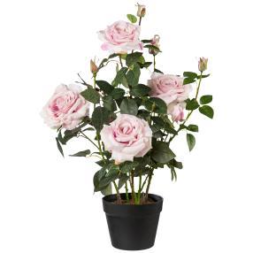 Rosenstock rosa, 68 cm