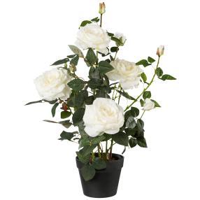 Rosenstock weiß, 68 cm