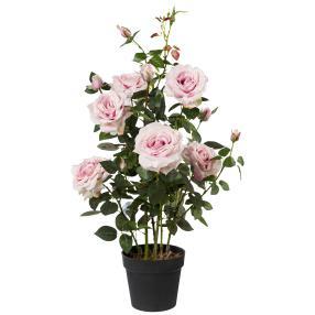 Rosenstock rosa, 90 cm