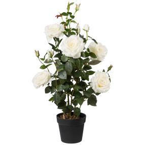 Rosenstock weiß, 90 cm