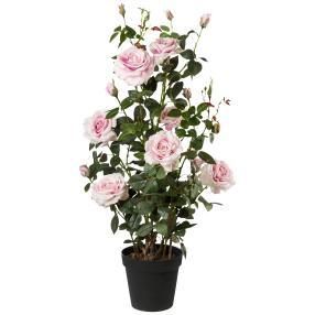 Rosenstock rosa, 112 cm