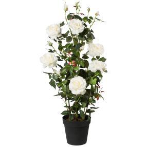Rosenstock weiß, 112 cm