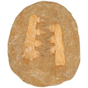 Mosasaurus Kiefer / Haifisch Gebiss Platte